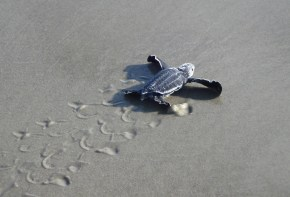 baby-sea-turtle-on-sand