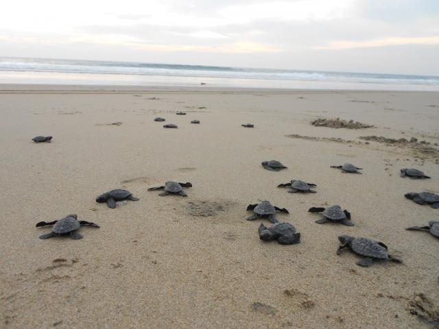 Baby turtles on beach.preview